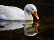 White goose on the lake