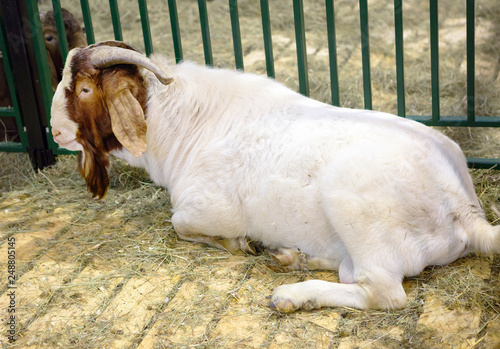 Goat. Male.Boer breed. Boer goats is a breed that was bred in the early 20th century.Determine the breed of goat can be the color of the hair on the head, it is their brown - this is their characteris