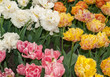 colorful botanical tulips flowers blooming in a garden - 248810937