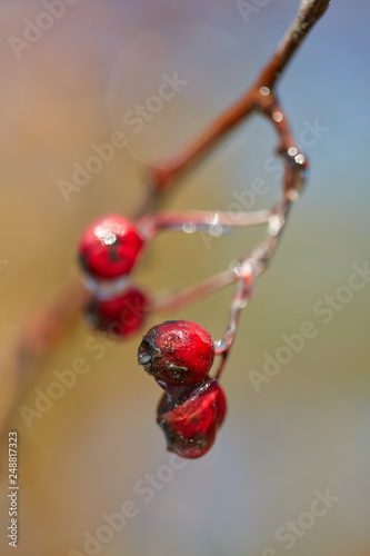 Foto Murales Hawthorn fruits with ice on them