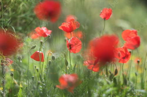 Poppies in the field - 248817707