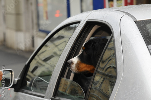 Hunde im Auto transportiert