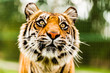 The Sumatran tiger which is the smallest of the tiger sub-species.