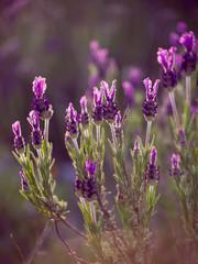 Lavandula stoechas, French Lavender blooming violet wildflower on the meadow in Algarve, Portugal, Europe.