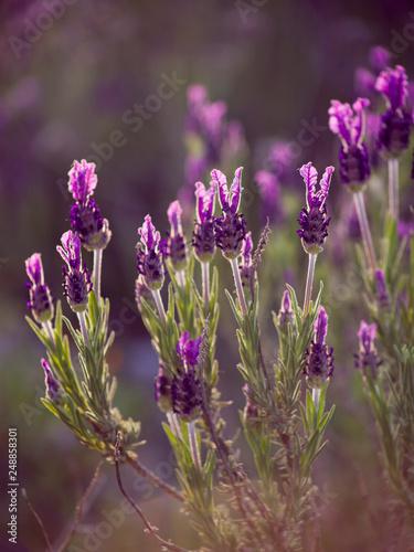 Lavandula stoechas, French Lavender blooming violet wildflower on the meadow in Algarve, Portugal, Europe. - 248858301