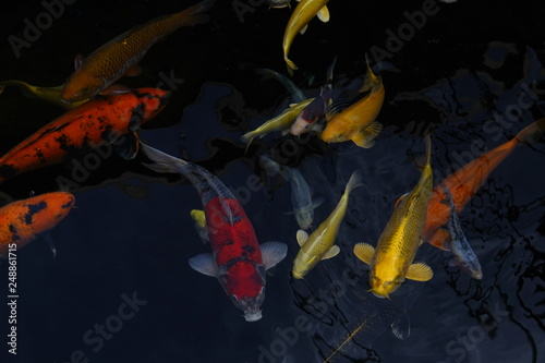 beautiful multicolor koi fishes in a pond © Thang
