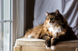 One Maine coon calico cat resting on chair indoors inside house comfortable breed neck mane or ruff by window looking outside with sunlight