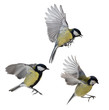 photo of three isolated great tit in flight