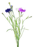 bunch of color cornflowers on white