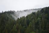 A fog over a pine forest
