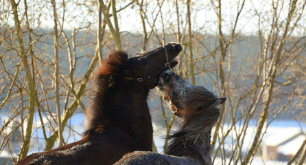 Freunde. Zwei Island Pferde spielen auf der Koppel © Grubärin