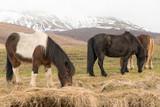 Cavalli islandesi