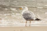 Mewa na bałtyckiej plaży