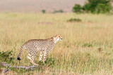 African Cheetah standing in the grass and watching