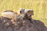 Two cheetah cubs lying on a termite mound on the African savannah