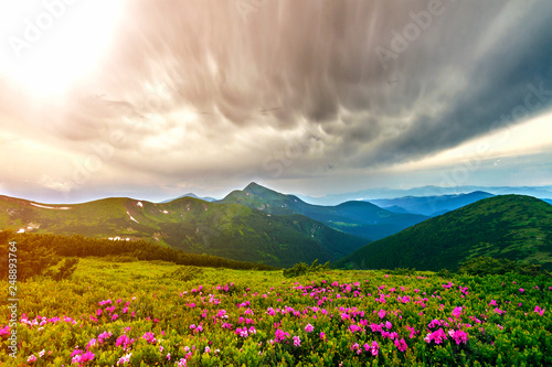 Foto Murales Beautiful view of pink rhododendron rue flowers blooming on mountain slope with foggy hills with green grass and Carpathian mountains in distance with dramatic clouds sky. Beauty of nature concept.
