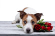 Leinwandbild Motiv dog lies with a flower . Jack Russell on a white background in the Studio. Festive pet. Valentine's day