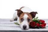 dog lies with a flower . Jack Russell on a white background in the Studio. Festive pet. Valentine's day