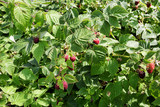 Raspberry bush with ripe and ripening raspberries