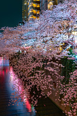 Meguro Sakura (Cherry blossom) Festival in full bloom and light up at night. Cherry blossom will start blooming around the late March in Tokyo, Many visitors to Japan choose to travel in spring season