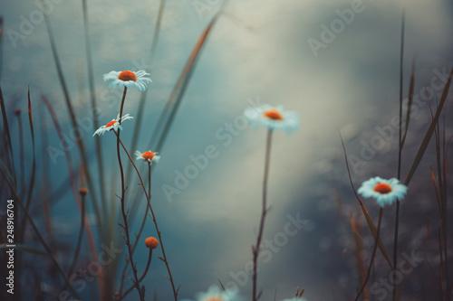 Beautiful wild chamomile flowers close-up - 248916704