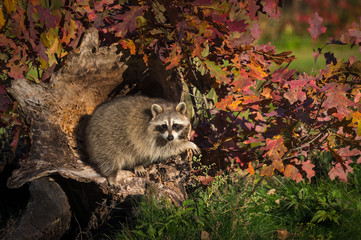 Raccoon (Procyon lotor) Hangs Out in Log Autumn © geoffkuchera