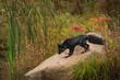 Silver Fox (Vulpes vulpes) Looks Down Rock Autumn