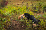 Red Fox and Silver Fox (Vulpes vulpes) Tussle Autumn - 248922903