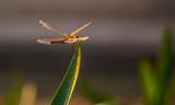 dragonfly - 248939947