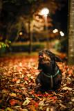 teckel dog taking an evening walk in a park in autumn