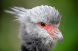 head of beautiful Southern screamer in wildlife, close-up view