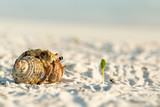 Small hermit crab walking on sand - 248971550