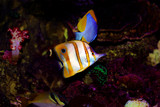 Copperband Butterfly fish - (Chelmon rostratus)