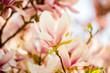 Soft Magnolia Blossom