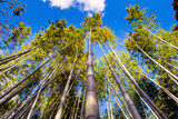 Fototapeta Bambus - Bamboo forest destinations in arashiyama,Japan. © Chinnachote