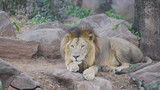 White male lion resting in the forest. - 249010104