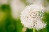 Close up of singe dandelion flower. Toned.