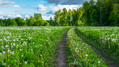 field of yellow and white dandelions on the background of the forest. Forest road along the blooming field with blowballs. medicinal plant Taraxacum officinale - 249014934