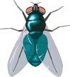 Bluebottle Fly Vector Illustration
