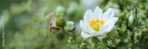 Weiße Blüte Anemone - Banner - 249022998