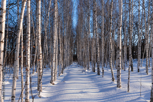 Trunks of birch trees in a winter forest at sunset