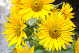 Bright yellow flowers of a sunflower