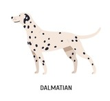 Dalmatian. Gorgeous funny purebred dog isolated on white background. Beautiful cute domestic animal or pet with spotted short-haired coat. Colorful vector illustration in flat cartoon style.