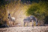 Zebras stehen vor einem Busch kurz vor Sonnenuntergang, Makgadikgadi Pans Nationalpark, Botswana