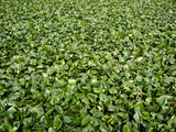 Common Water Hyacinth - 249041560