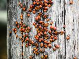 An accumulation of firebugs (Pyrrhocoris apterus) on wood. Red insect. - 249045576