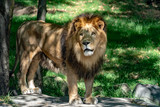 african male lion on forest savana background