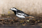 White Wagtail, Pied Wagtails, Wagtails, Motacilla alba - 249056721