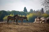 Natural life park, zoo, Izmir / Turkey, Zebra animal