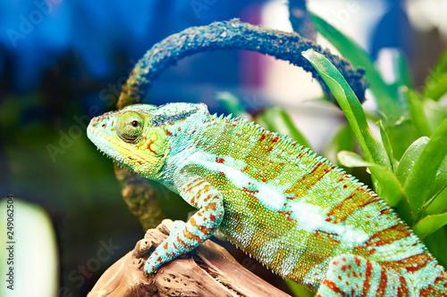 Chameleon on plant